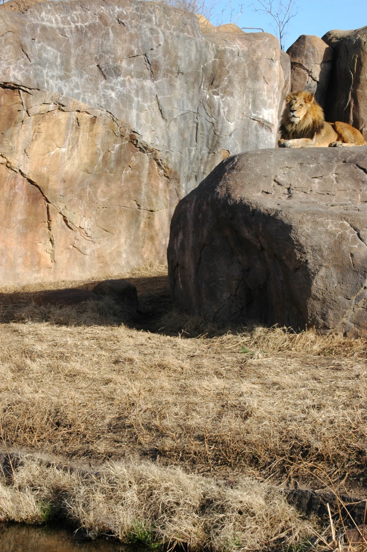 Lion at the Sedgwick County Zoo - Wichita, KS