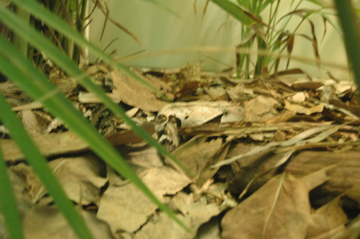 Gaboon Viper in fallen leaves