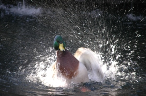 Duck splashing