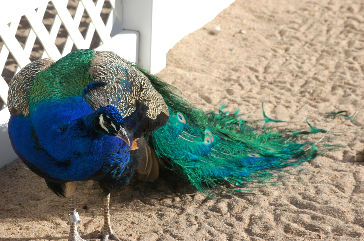 Peacock on sand