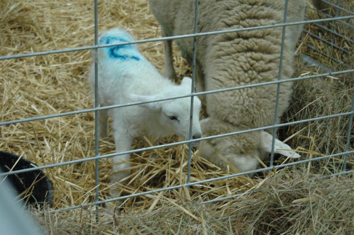 Lamb at the Kansas State Fair