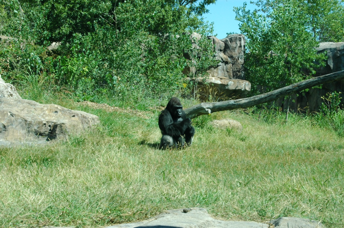 Gorilla sitting by himself