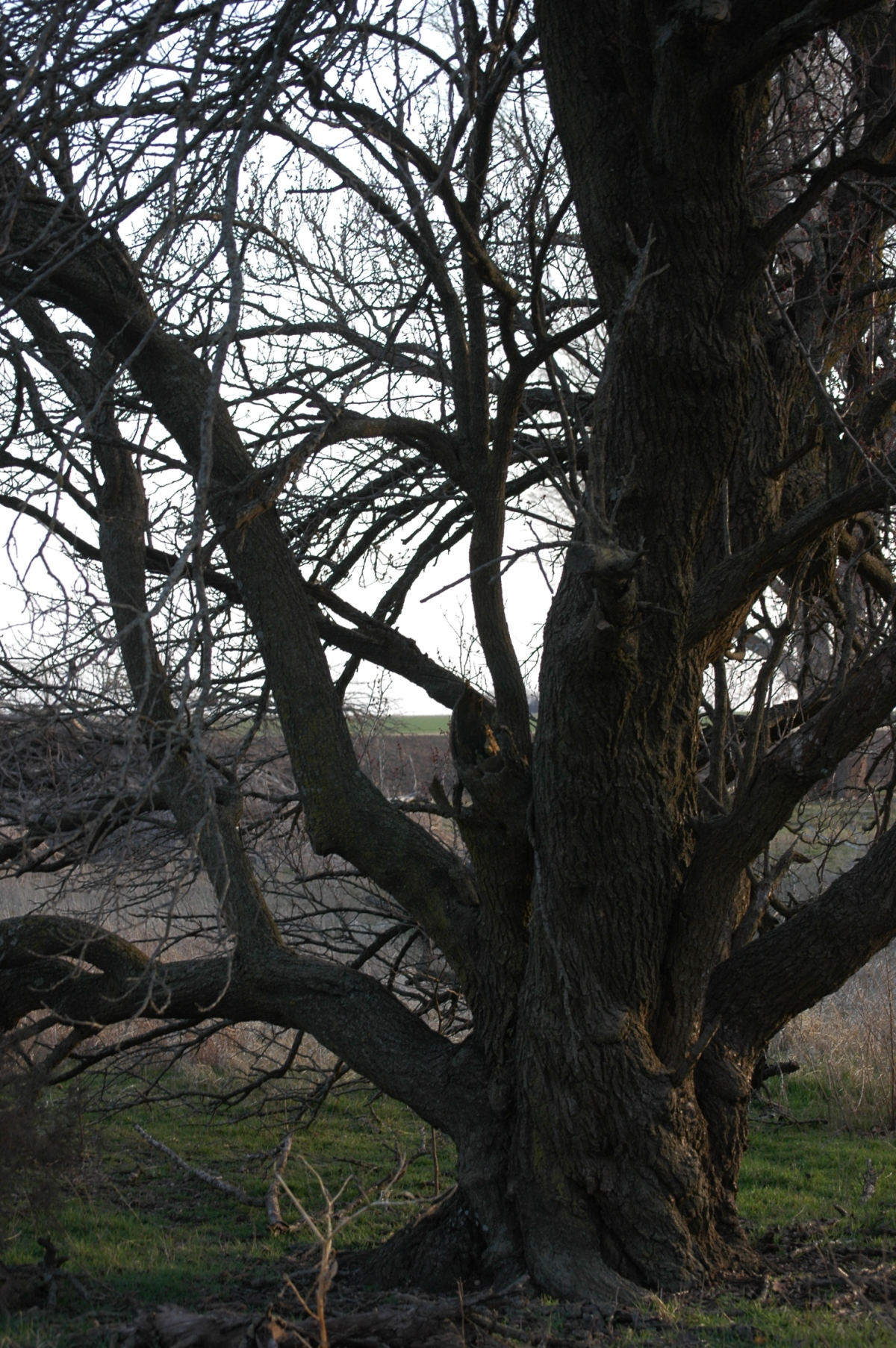 My apricot tree