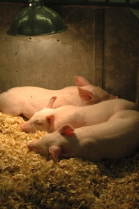 Piglets at the Kansas State Fair