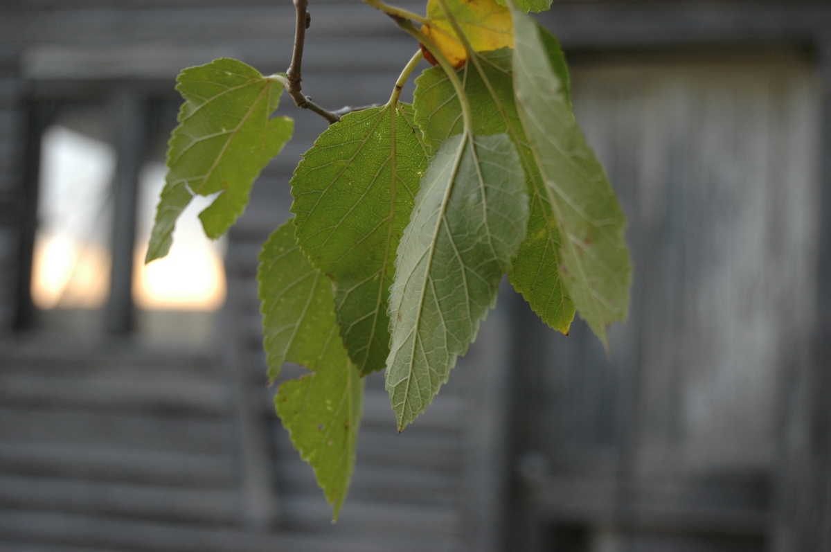 Mullberry leaves