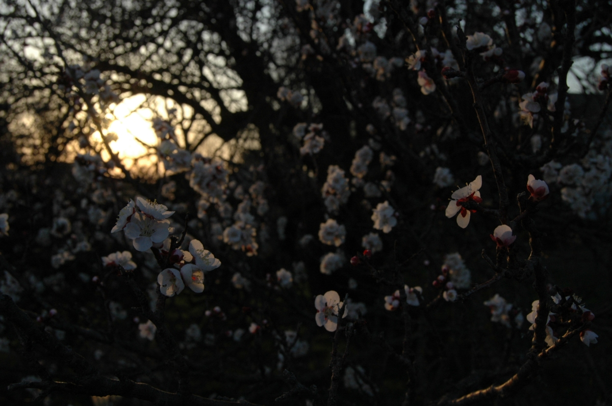 Apricot blossoms at sunset