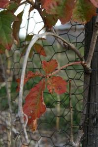 Ivy in autumn - Safe Haven Farm, Haven, KS