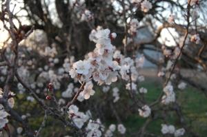 Lots of apricots - Safe Haven Farm, Haven, KS