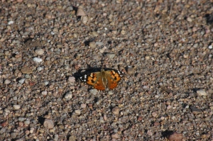 Moth on the gravel road - Safe Haven Farm, Haven, KS
