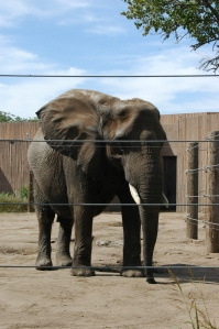 Elephant at the Sedgwick County Zoo - Wichita, KS