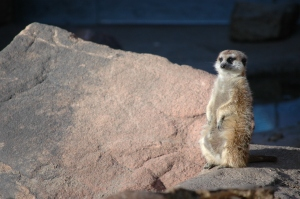 Meerkat at the Sedgwick County Zoo - Wichita, KS
