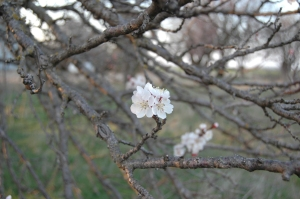 Apricot blossoms - Safe Haven Farm, Haven, KS