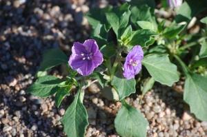 Little purple flower - Safe Haven Farm, Haven, KS