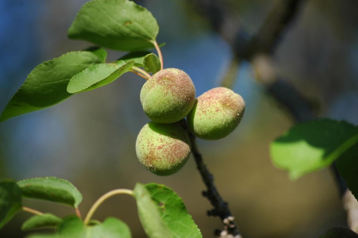 Apricots at Safe Haven Farm - Haven, KS