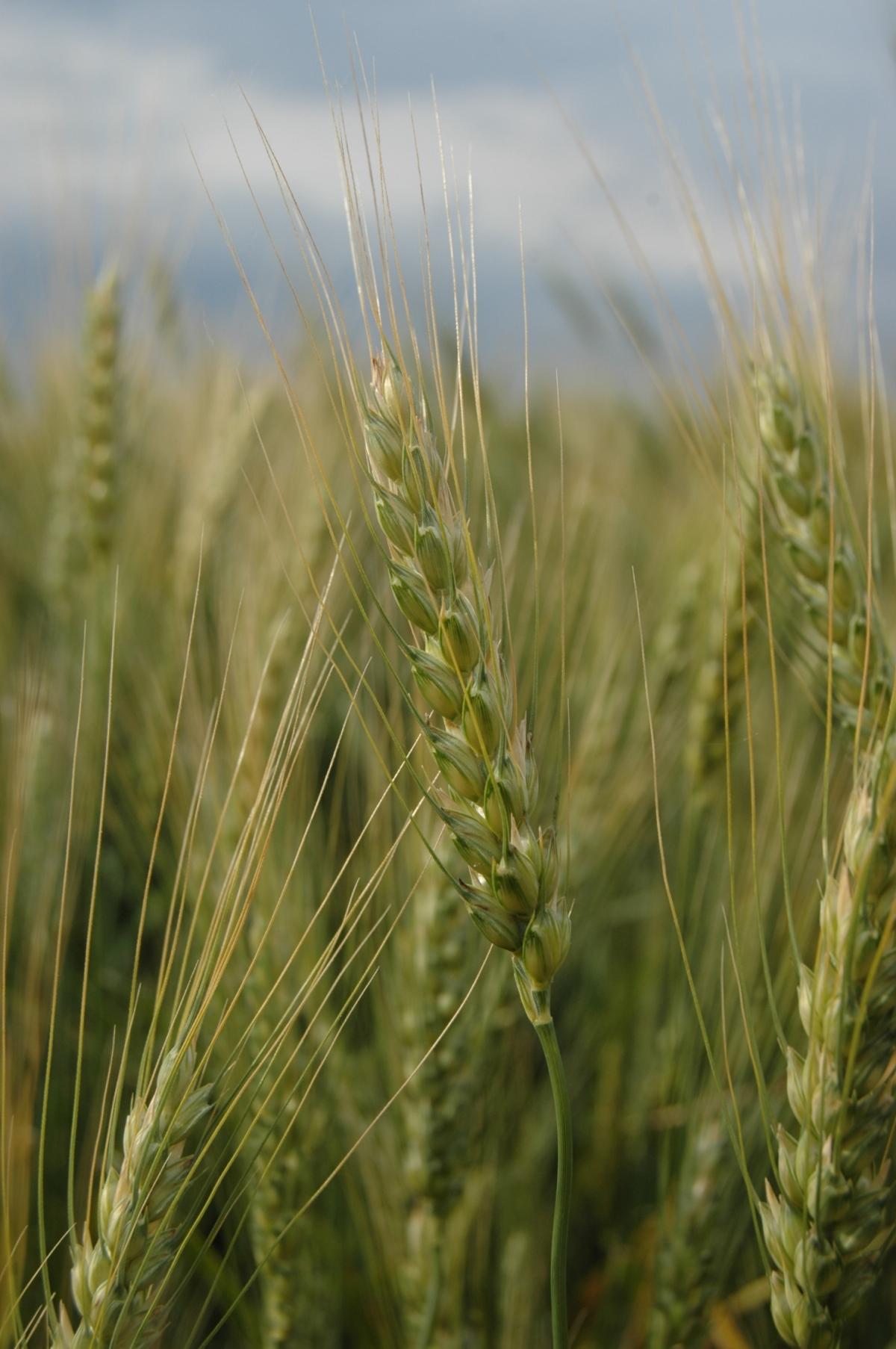 Wheat almost ready - Safe Haven Farm, Haven, KS