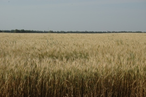 Wheat ready for harvest at Safe Haven Farm - Haven, KS