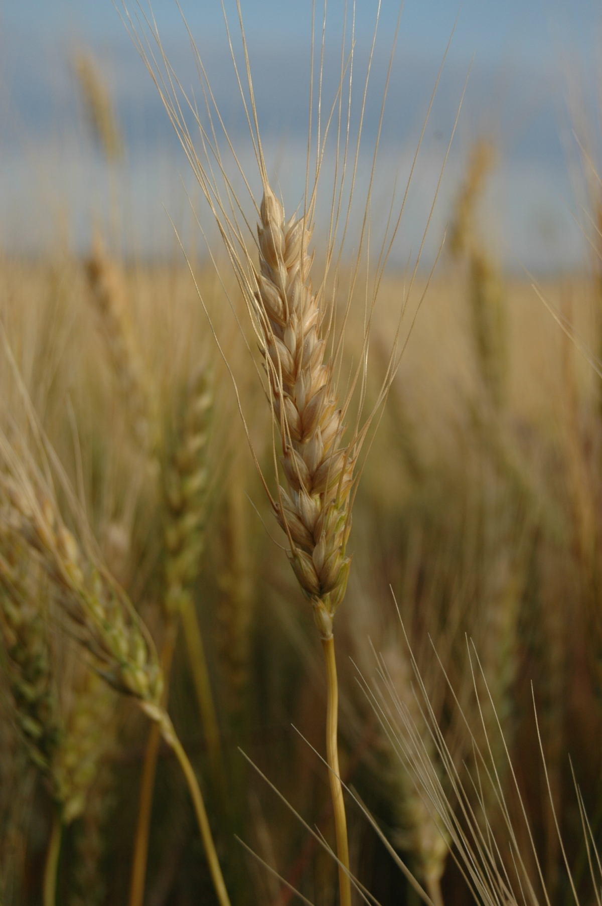 Wheat close up - Safe Haven Farm, Haven, KS