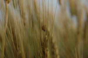 Ladybug in the wheat - Safe Haven Farm, Haven, KS