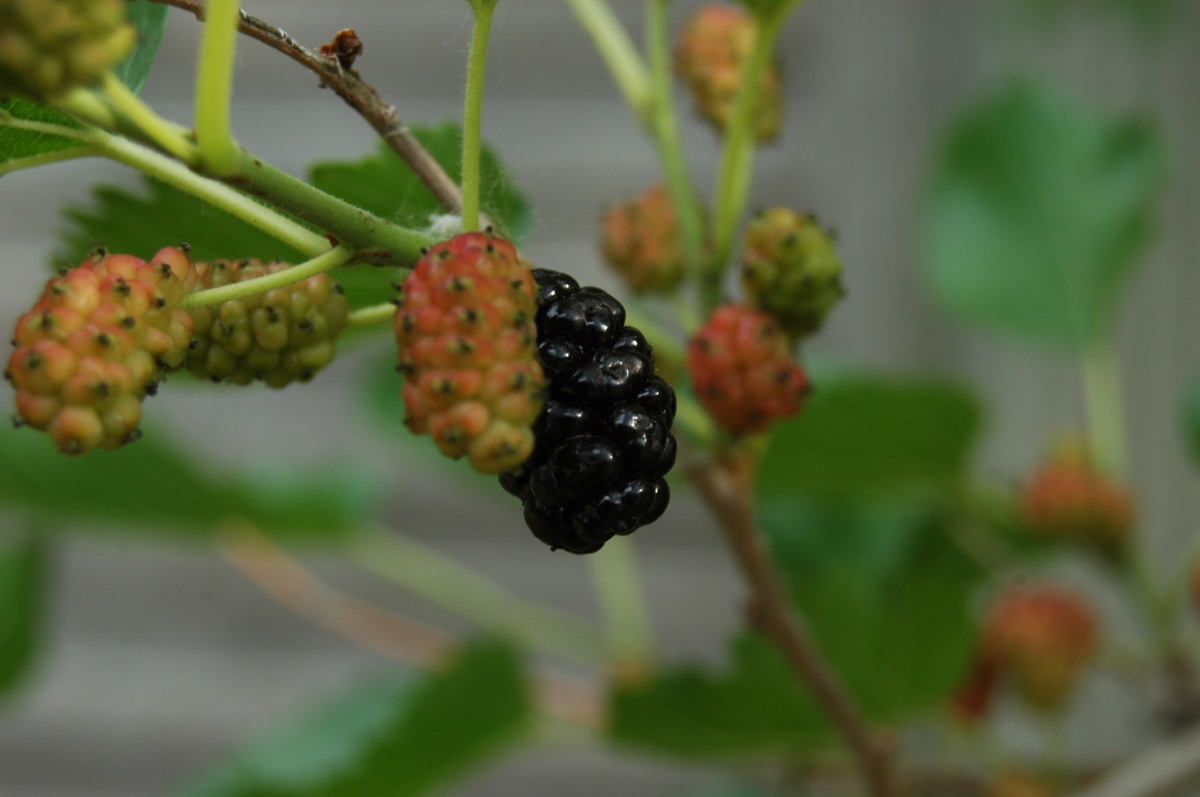 Mulberries - Safe Haven Farm, Haven, KS