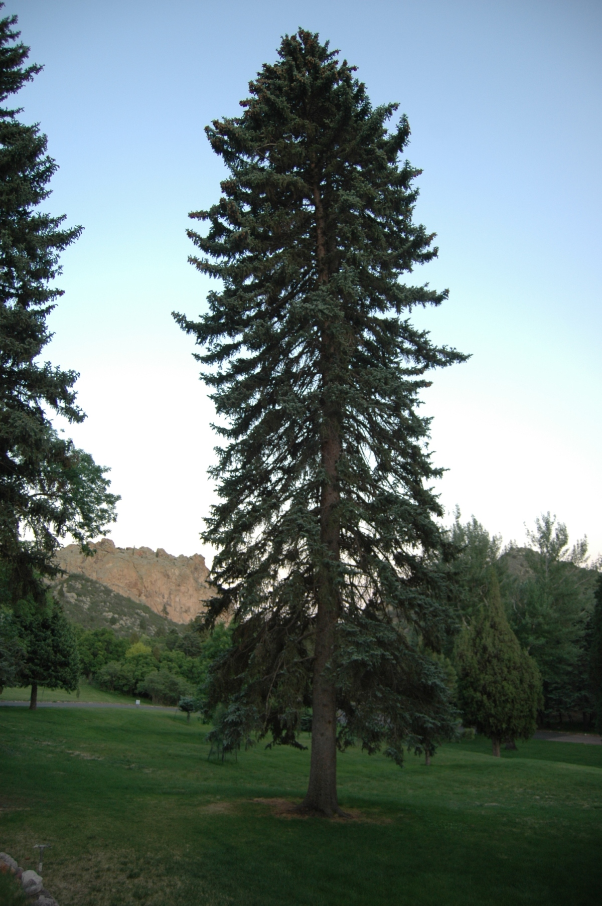 Evergreen tree - Glen Eyrie, Colorado Springs, CO