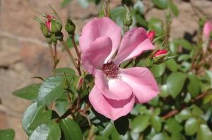 Pretty pink flower - Glen Eyrie, Colorado Springs, CO