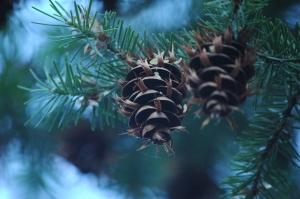 Pine cones at Glen Eyrie - Colorado Springs, CO