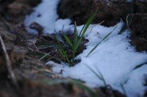 Wheat in the snow - Safe Haven Farm, Haven, KS
