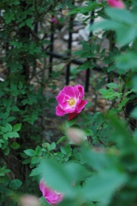 Blooming rose in the Rose Garden at Glen Eyrie - Colorado Springs, CO