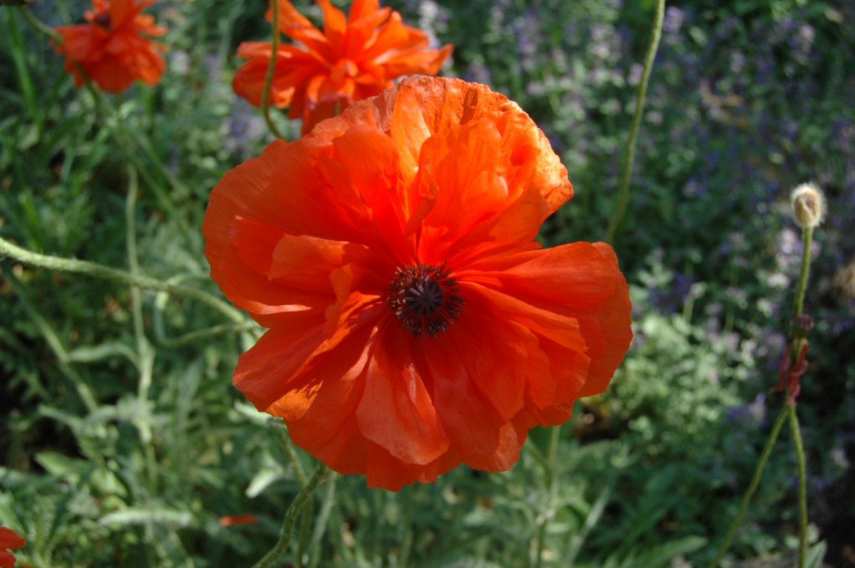 Poppy at Glen Eyrie - Colorado Springs, CO