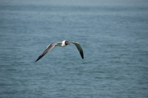 Seagull flying - Galveston, TX