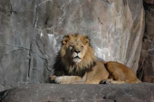 Lion at the Sedgwick County Zoo - Wichita, KS