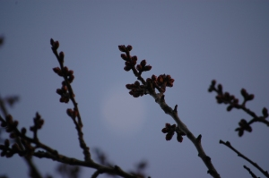 Apricot buds in spring - Safe Haven Farm, Haven, KS