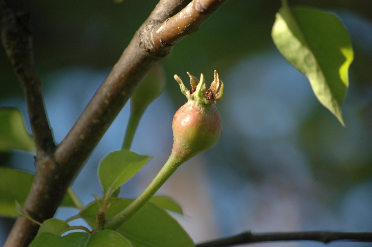 Pear growing on the tree - Safe Haven Farm, Haven, KS