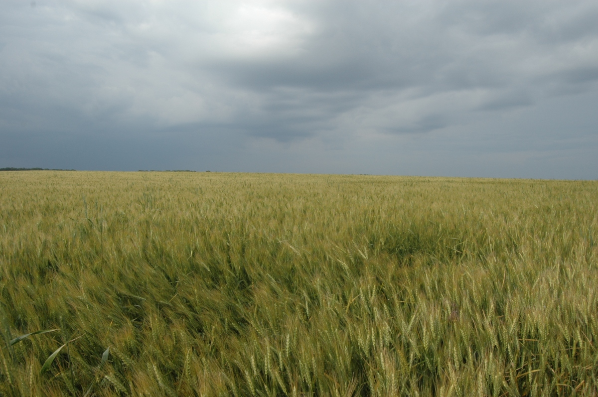 Wheat and dark sky at Safe Haven Farm - Haven, KS