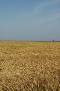 Wheat before harvest with blue sky - Safe Haven Farm, Haven, KS