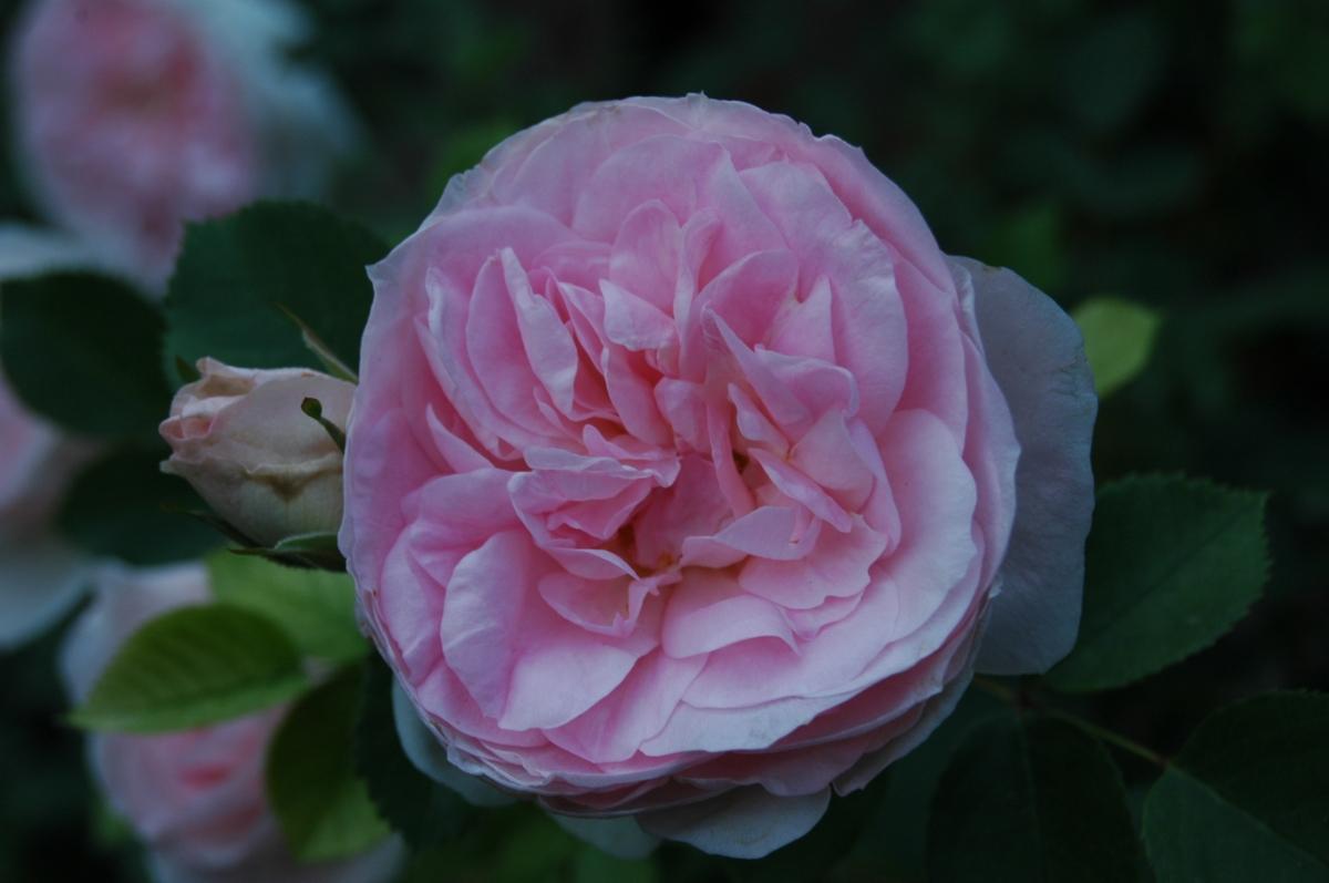 Blossoming rose in the Glen Eyrie Rose Garden - Colorado Springs, CO