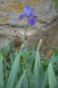 Iris in bloom at Glen Eyrie - Colorado Springs, CO