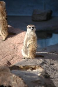 Meerkat at the Sedgwick County Zoo - Wichita, KS