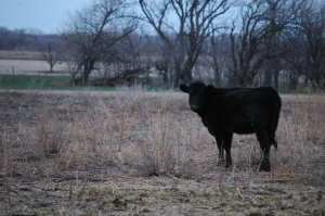 Cow in the back pasture at Safe Haven Farm - Haven, KS
