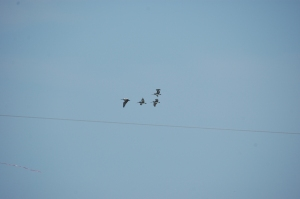 Pelicans flying together - Galveston, TX