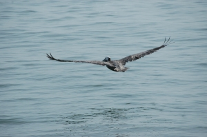 Pelican flying over the gulf - Galveston, TX