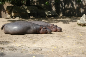 Hippos working on their tans - Sedgwick County Zoo, Wichita, KS