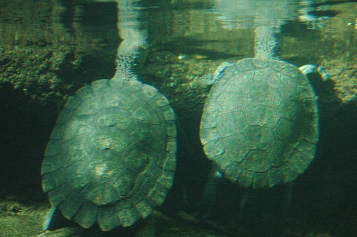Two turtles at the Sedgwick County Zoo - Wichita, KS