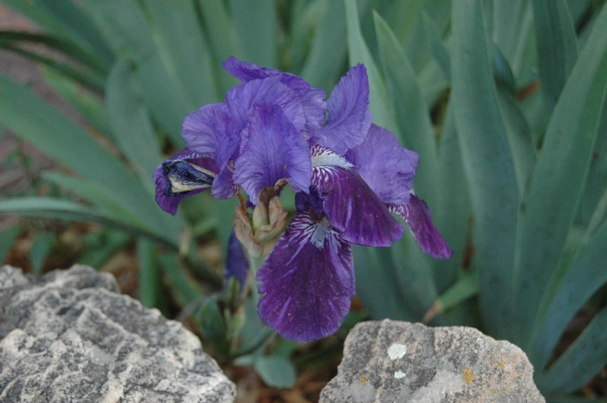 Iris at Glen Eyrie - Colorado Springs, CO