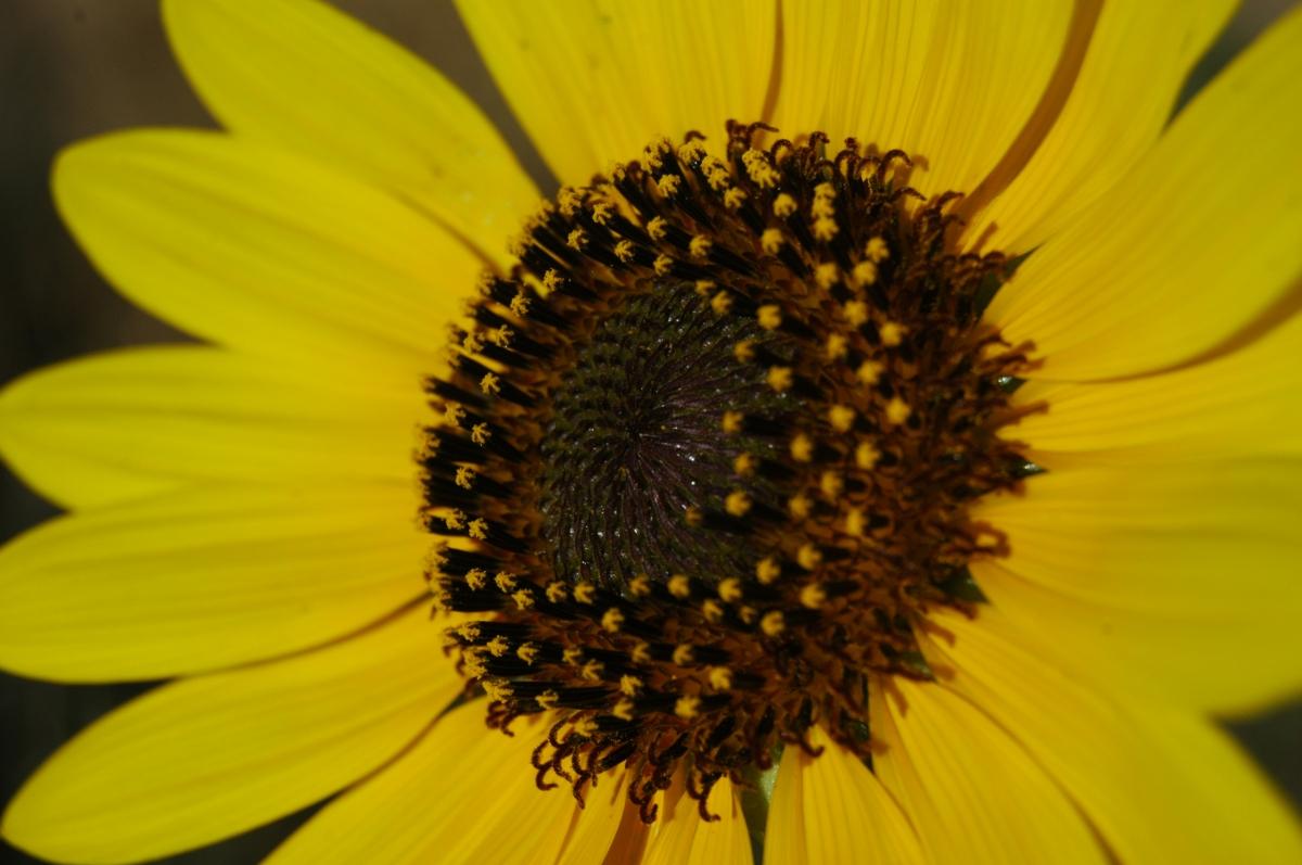 Sunflower at Safe Haven Farm - Haven, KS