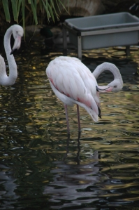 Flamingo at the Sedgwick County Zoo - Wichita, KS