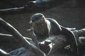 Otter at the Sedgwick County Zoo - Wichita, KS