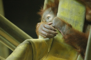 Baby orangutan chilling out at the Sedgwick County Zoo - Wichita, KS