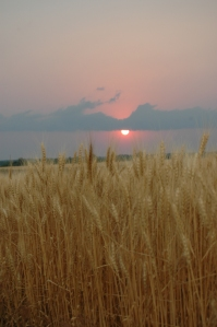 Wheat ready for harvest at sunset - Safe Haven Farm, Haven, KS