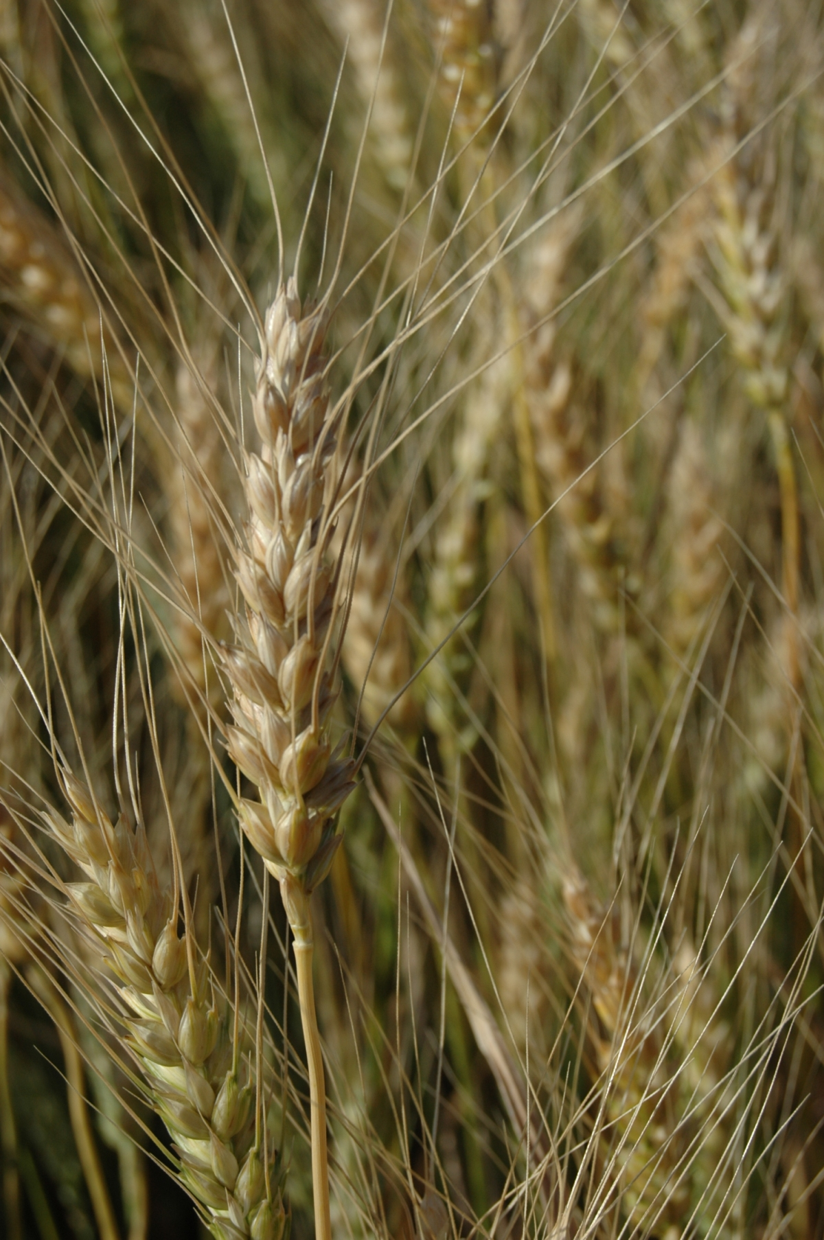 Wheat nearly ready for harvest at Safe Haven Farm - Haven, KS